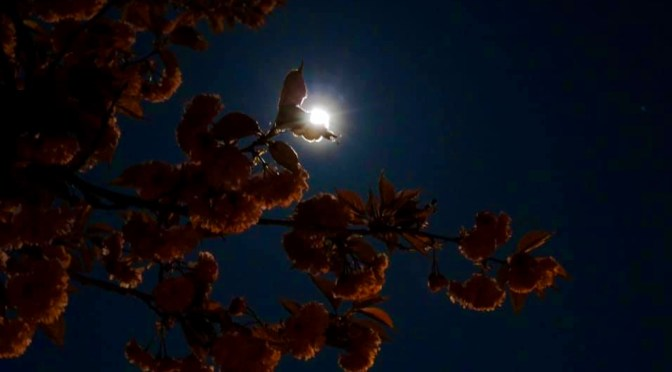 Focus: Bloomin' Pink Moon