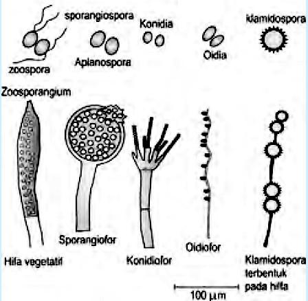 reproduksi jamur- macam-macam spora