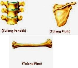 tulang pipih tulang pipa dan tulang pendek