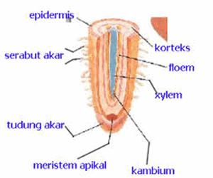 Mengenal Struktur Dan Fungsi Akar