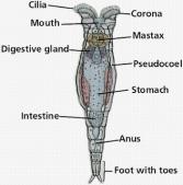 rotifera