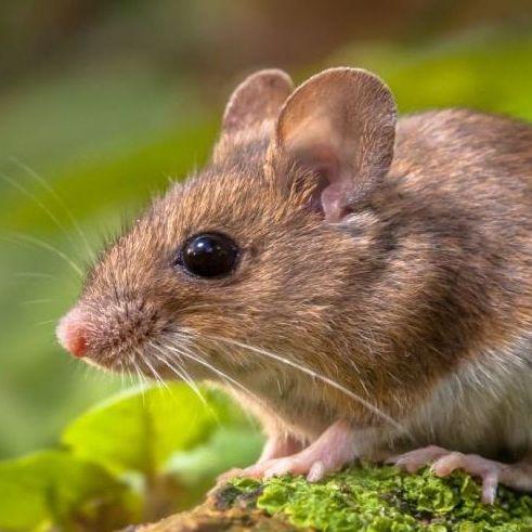 Susi die Maus