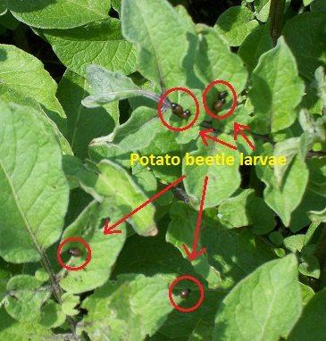 potato beetle larvae diagram
