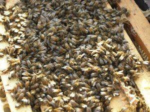 feeding bees sugar