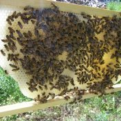 foundationless bee-frame