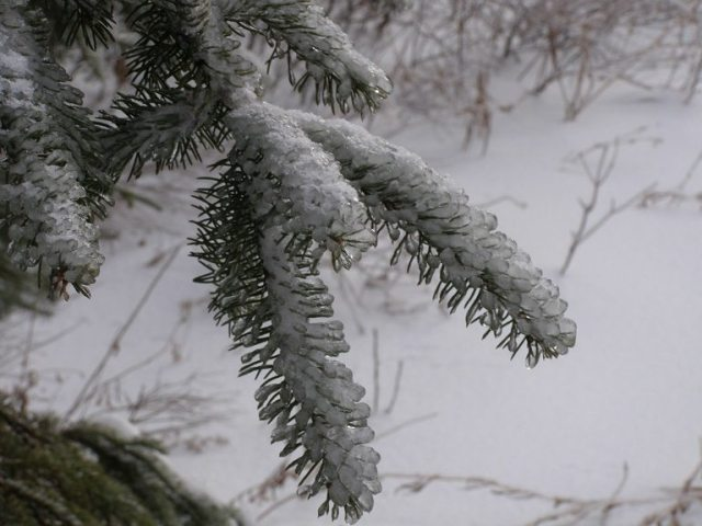spruce in ice