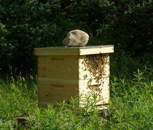 sponsor pollinator conservation with runamuk acres