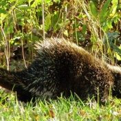 problems with porcupine on the homestead