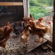 laying hens for sale