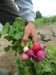 Grow Radishes Super Fast