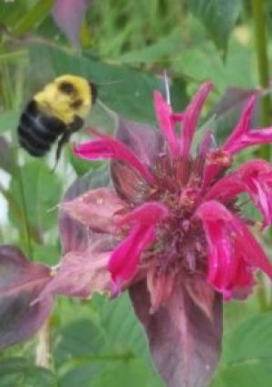 Bumble Bee hovering over flower