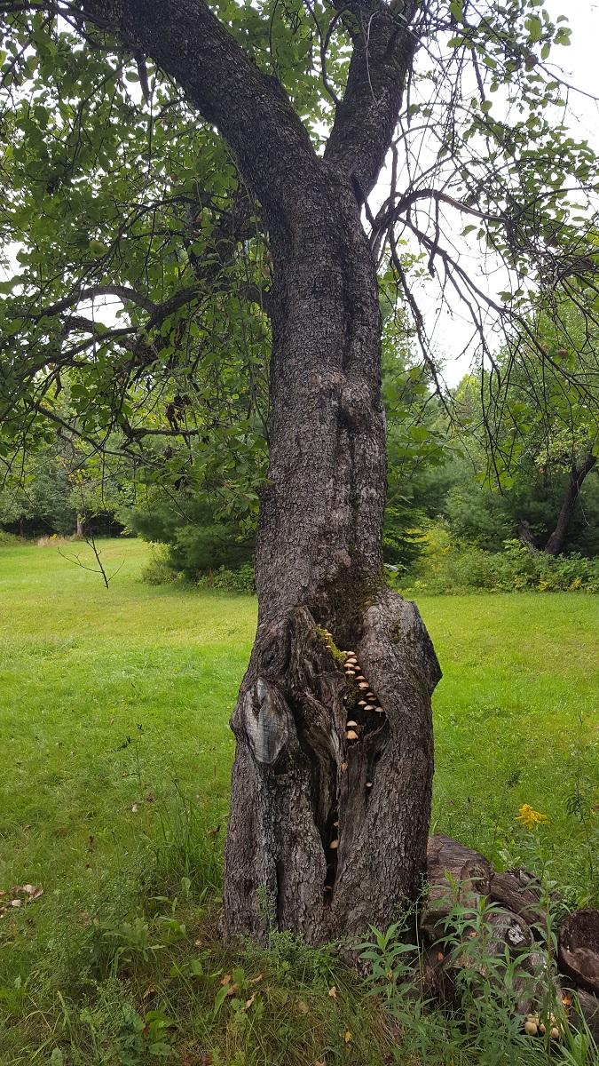 mushrooms on an apple tree