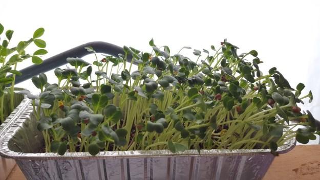 radish shoots