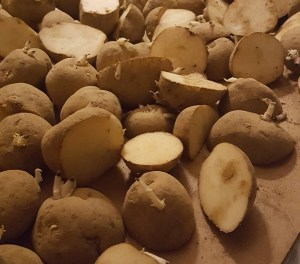 curing seed potatoes