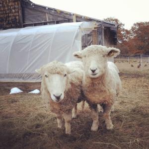 happy sheep at runamuk