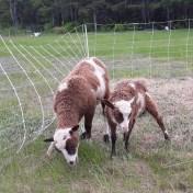 new lambs at runamuk acres