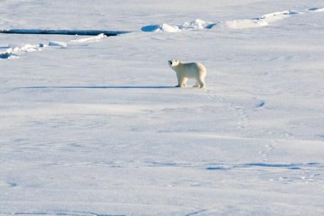 Polar bear spotted!