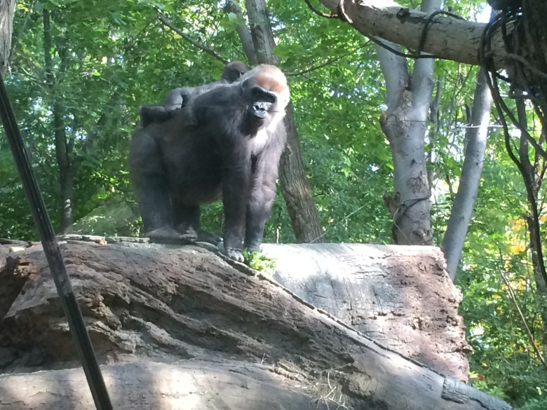 gorillas at the Bronx zoo