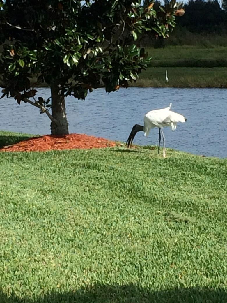 wood stork Florida