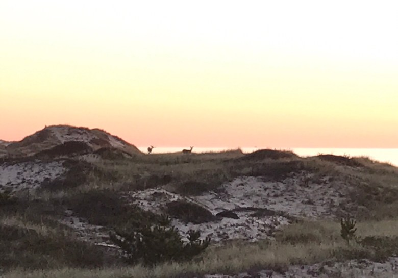 Deer at sunrise Montauk