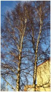 """Nästan två veckor in i november står vår """"dubbelbjörk"""" kal och redo för vintern. Foton: Isolde Berner"""
