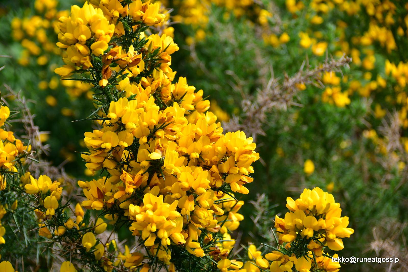 Gorse The Yellow Flower Of Scotland Runeatgossip