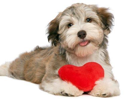 Valentine Dog