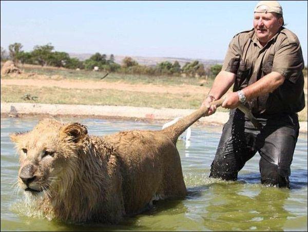 лев которого тянут за хвост