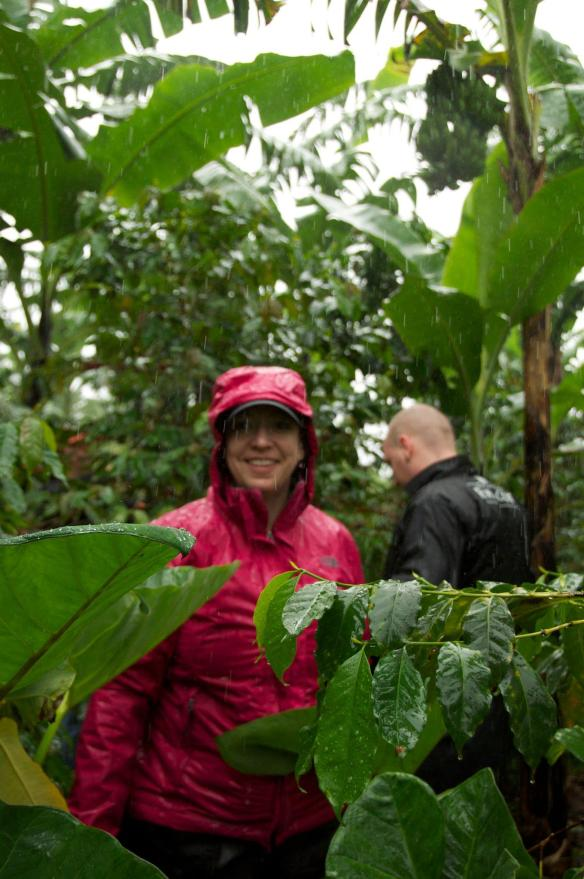 picking coffee cherries in the downpour