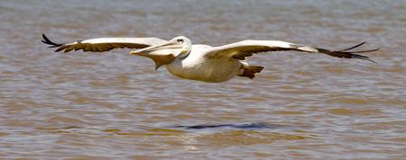 Pelicano lago Chamo