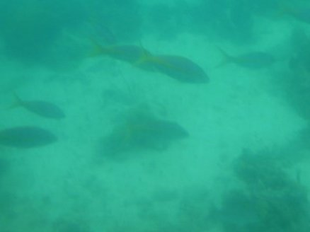 Yellow Snapper of the Caribbean, near Nassau/Paradise Island, Bahamas, shot by me from underwater submarine Jan 2010