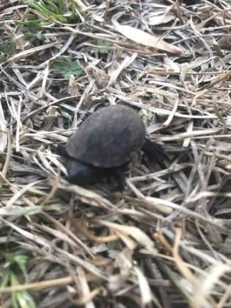 Baby Turtle 1