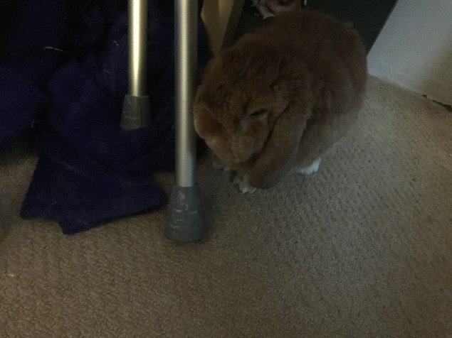 rabbit munching on crutches