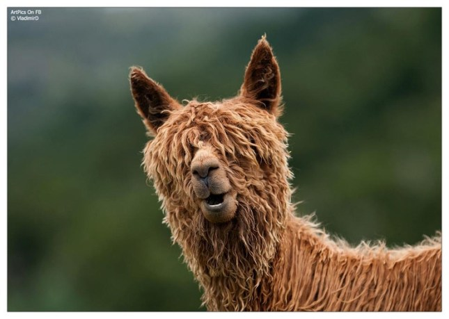 lama can't see
