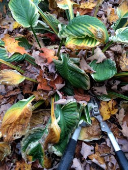 Cutting Back Hosta