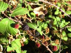 Blackberries! Yum.