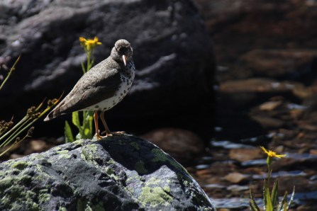 My new friend - Spotted Sandpiper