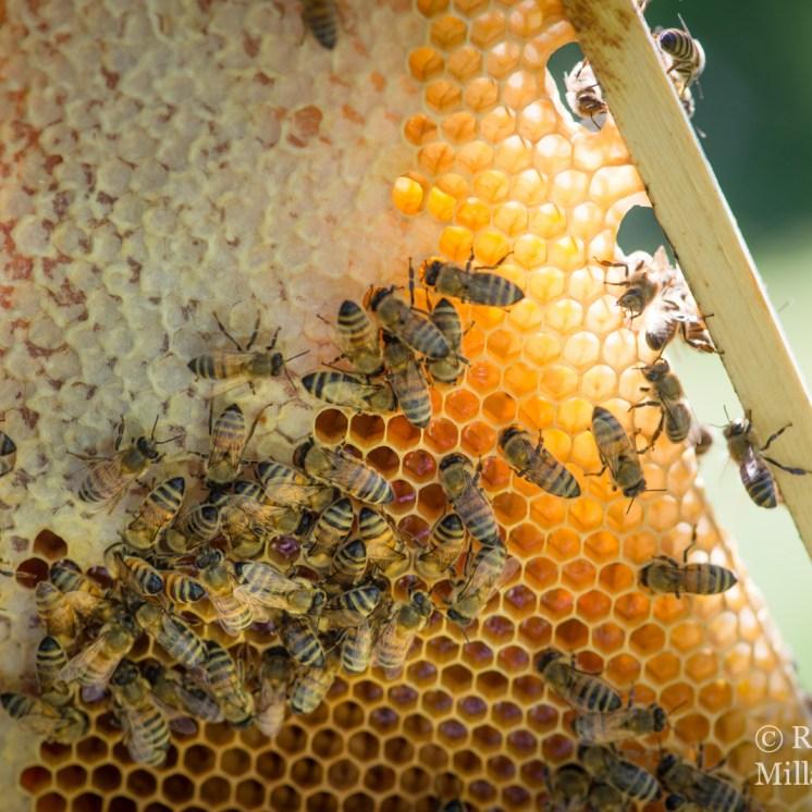 Wohls Gårdilla on kaksi omaa pesää tuottamassa hunajaa. Kuvaaja: Milla von Konow
