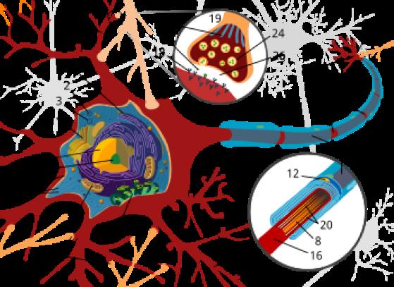 Aksoni, eli viejähaarake tai hermosyy on hermosolun eli neuronin osa. Tuojahaarakkeita eli dendriittejä on useita yhdessä neuronissa. Aksoni haarautuu loppupäästään ja muodostaa näin useita hermopäätteitä, jotka puolestaan voivat muodostaa synapsin toisen hermosolun tai lihassolun kanssa. Hermosoluissa on yleensä yksi aksoni solua kohden. Aksoni johtaa hermoimpulssin eteenpäin toiseen soluun. Solun runko punaisella värillä: 5. tumake, 15. tuojahaarake, 16. viejähaarake, 19. synapsi, 21. myeliinituppi, 22. Ranvierin kurouma, 23. hermopääte, aksonin haarautunut pää Kuva: Wikipedia