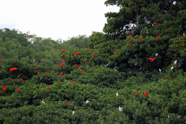 scarlet ibis and egrets roosting for the night