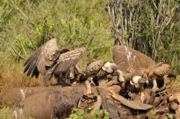 White backed vultures at carcass