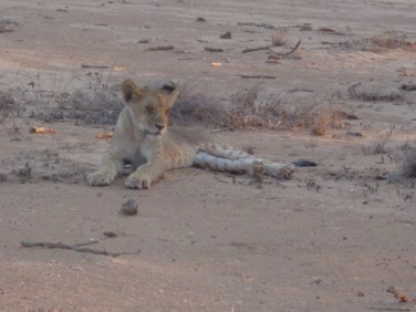And one of the cubs with her in Tsavo East National Park