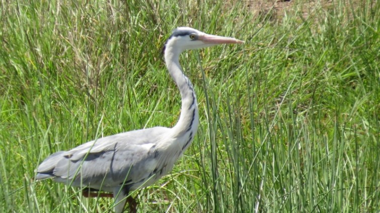 Bird of the wetlands in Nairobi National Park