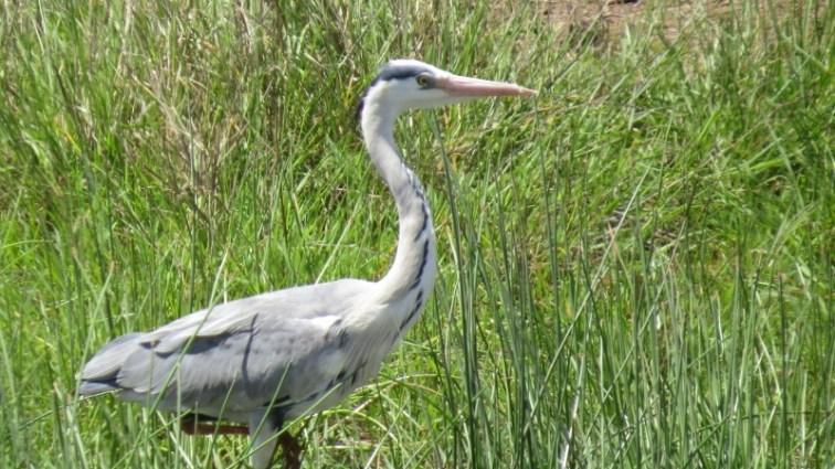 Bird of the wetlands in Nairobi National Park