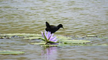 Wading bird with lotus in Nairobi National Park