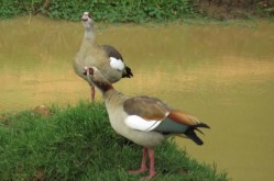Egyptian geese at Serena Mountain Lodge waterhole