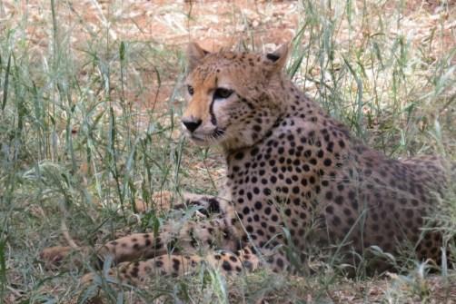 The Cheetah at Nairobi Animal Orphanage - Copyright Maya Mangat