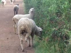 Sheep outside Gatamaiyu forest - copyright Rupi Mangat