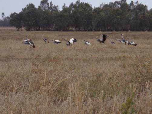 Mating dance of Grey crowned cranes by Lake Ol Bolossat in the shadows of the Aberdares in central Kenya Copyright Rupi Mangat