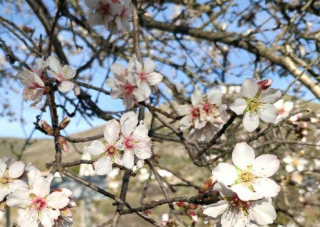 Almendros floridos de Burgohondo
